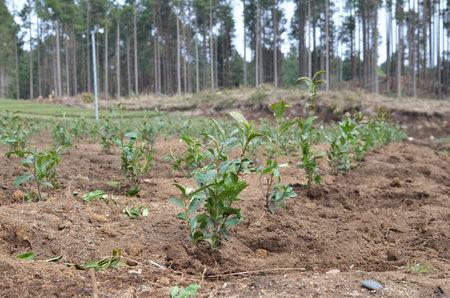 お茶の苗植え
